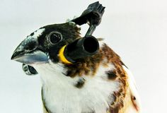 Outfitting birds with tiny headphones has allowed scientists to create a statistical explanation for why some things are harder for brains to learn than others.