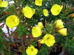 Safe - Evening Primrose - Oenthera