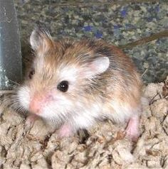 Pet Hamsters for Sale » Robo Dwarf Hamster PetSmart