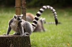 Le Maki Catta fait partie d'un programme de sauvegarde dans lequel le ZooParc de #Beauval s'est impliqué. #zoobeauval #zoo #destinationbeauval #saintaignan