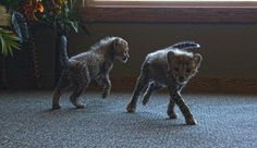 Our little cheetah brothers are getting bigger and bigger!!