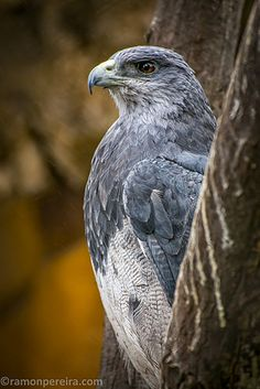 Not sure what type it is but was nice to get the shot. Peru, Panama, Eagle, Type, Animals, Turkey, Animaux, Animal, Animales