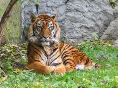 Tiger: The Animal Files