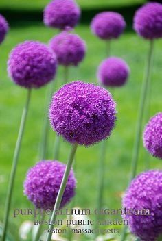 Purple Allium Giganteum - I want to grow these just for the adorable photos of the kids with them!  What fun flowers!