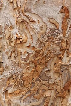 Eucalyptus bark6; Photo by kasia-aus