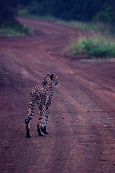 Begin vorige eeuw waren er nog 100.000 cheetah's te vinden in het wild. Vandaag de dag zijn het er nog maar 12.000! Het voortbestaan van de cheetah staat onder grote druk. Meer weten? http://www.stichtingspots.nl/index.php?page=239