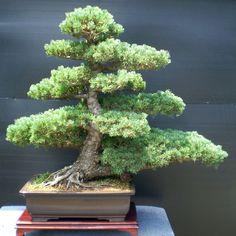 RK:goyo-matsu bonsai