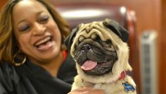 Mikey, the blind pug. Such a wonderful and beautiful story! Mikey will melt your heart!