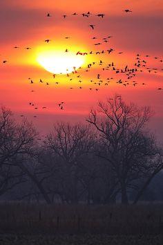 Spring Sandhill Crane migration Platte River, Nebraska