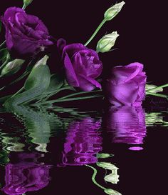 PURPLE ROSE REFLECTIONS