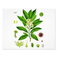 Shop Star anise poster created by Botany_Boy. Edible Plants, Edible Garden, Plant Illustration, Botanical Illustration, Botanical Drawings, Botanical Prints, La Malmaison, Illustrator, Star Anise