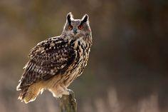 The Eurasian eagle owl is among the largest of all owl species. The Eurasian eagle owl has distinct eye tufts and vibrant orange eyes.