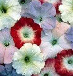 200 Pelleted Petunia Seeds Celebrity Watercolors Seeds Mix BULK PETUNIA SEEDS #PetuniaSeeds