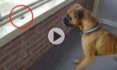 This boxer getting scared by a leaf is the cutest thing you'll ever see! Be warned, if you watch it once you'll wanna watch it 10 times!