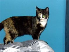 ***SENIOR*** Petango.com – Meet Lena, a 7 years 4 months Domestic Shorthair / Mix available for adoption in LILBURN, GA Contact Information Address  PO Box 2958, LILBURN, GA, 30048  Phone  (770) 309-2923  Website  http://www.forgottenanimalsres cue.org/  Email  forgottenanimals@yahoo.com