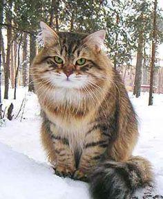 siberian-cat11