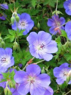 Geranium wallichianum 'Rozanne / Garten-Storchschnabel 'Rozanne'