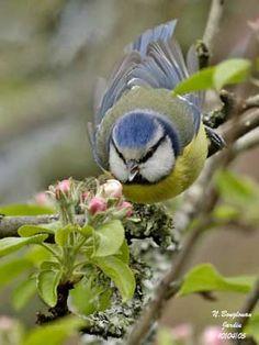 bluetit on apple tree Blue tit.  Mésange bleue.  (Cyanistes  caeruleus)
