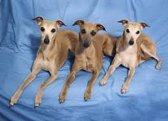 Image result for most popular whippet picture
