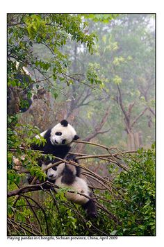 Chengdu Panda Base,  Chengdu, China Copyright: Peter Nilsson