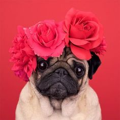 cute pug puppies his year for Valentine's Day, skip all the human drama, expensive gifts, and courtship rituals, and just let your dog be your Valentine. There's no one who will apprec Funny Dogs, Funny Animals, Cute Animals, Animal Memes, Pugs And Kisses, Pug Pictures, Pug Photos, Animal Pictures, Pug Puppies
