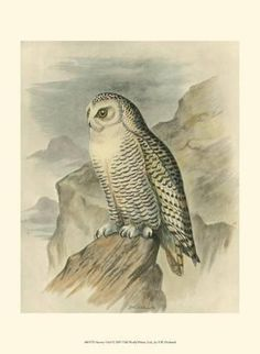 1392f234f2b Art Print  Snowy Owl Art Print by F.w. Frohawk by F.w. Frohawk   13x10in  Canvas