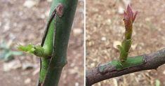 Truques para enxertar árvores de frutas de uma forma simples e na altura certa