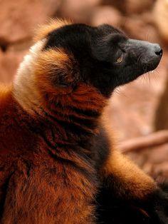 Red Ruffed Lemur by Aidan Zealley