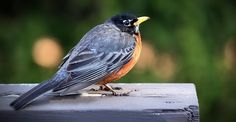 Kostenloses Bild auf Pixabay - Merle, Vogel, Natur, Tiere, Stift