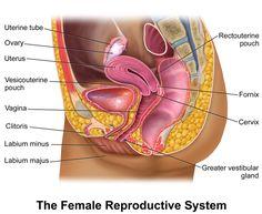Blausen 0400 FemaleReproSystem 02 - Female reproductive system - Wikipedia