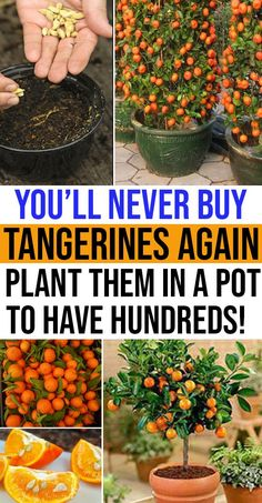 Get tangerine seeds from nearby nursery or you can use the left over seeds from tangerine fruit But make sure that you dry it completely to remove sweet juices planting tangerine seedling