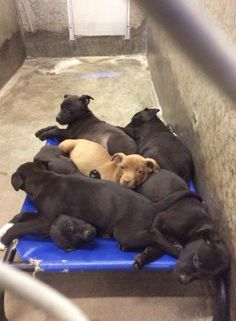 Lots of puppies!! This is litter 1 of 2 of Lab puppies that were just surrendered! All puppies are URGENT and always need out fast. If you are thinking of adopting a puppy please go meet these. $35 to save a life. Located at Odessa, Texas Animal Control. FOR OUT OF STATE ADOPTIONS PLEASE PM THIS GROUP FOR DETAILS! https://www.facebook.com/speakingupforthosewhocant/photos/pcb.753538008003773/753537194670521/?type=1&theater