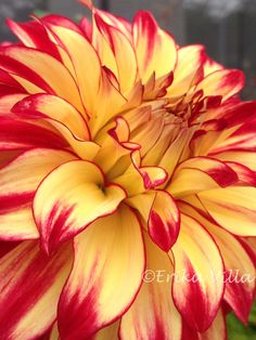 Bi-color Dahlia Such a beauty of Nature. Flowers Nature, Exotic Flowers, Amazing Flowers, Beautiful Flowers, Zinnias, Dahlias, Dahlia Flower, Arte Floral, Blooming Flowers