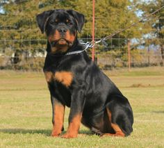 Rottweiler Love, Rottweiler Puppies, Chihuahua Dogs, Dogs And Puppies, Doggies, Animal Shelter, Shelter Dogs, Animal Rescue, Mans Best Friend