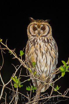 Striped owl, Pantanal, Brazil