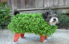 A real life chia pet costume for your dog. hilarious.