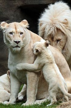 Just Beautiful - Lion family - Big Cats