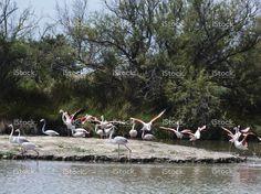 Flight of flamingos in Camargue, France stock photo 76761873 - iStock