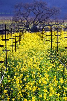 What a beautiful shot of the Mustard growing in between the vineyards @ Shafer Vineyards
