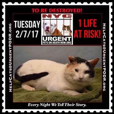 """TO BE DESTROYED 02/07/17 - - Info Please share View tonight's list here: http://nyccats.urgentpodr.org/tbd-cats-page/The shelter closes at 8pm. Go to the ACC website( http:/www.nycacc.org/PublicAtRisk.htm) ASAP to adopt a PUBLIC LIST cat (noted with a """"P"""" on their profile) and/or … CLICK HERE FOR ADDITIONAL…Please...- Click for info & Current Status: http://nyccats.urgentpodr.org/to-be-destroyed-020417/"""