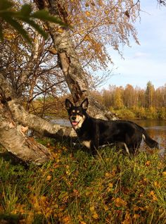 Lapponian herder Räpsy enjoying the last warm days here in Lapland.