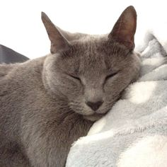 "A Russian Blue Cat. Looks just like our 1at cat, ""Axl""."