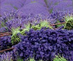 cosecha de lavanda---lavender harvest