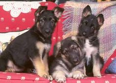 The great German Shepherd believe it or not even when they grow up they still are gentle giant babys