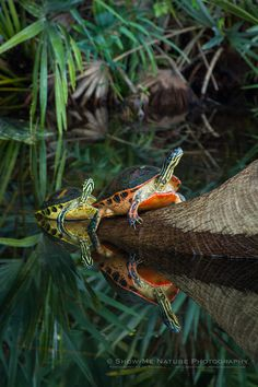 Florida Red-Bellied Turtles at Green Cay Wetlands in Florida  (Show Me Nature Photography).