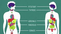 TOUCH this image: Endocrine System by MariaVita1