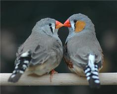 A kiss means so much.... [Zebra finches]