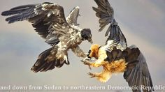 What a attacing information for Eagle lovers