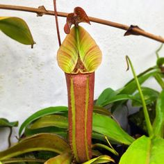 Nepenthes x 'Tiveyi' Red Queen @crown_of_frogs #californiacarnivores #nativeexotics #nepenthes #neps #monkeycup #monkeycups #pitcherplants #pitcherplants #carnivorousplant #carnivorousplants #carnivoroustagram #carnivorousplantswag #nature #instagood #instagram #instalike #instadaily #plant #plerd #nerd #nature #sphagnum #tropical #trending #terrarium by joes.carnivores