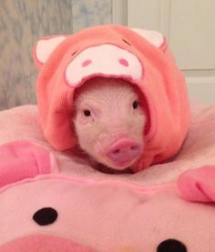 "HIDDEN IN PLAIN SIGHT ""Is my outfit too much?"" Priscilla the Mini Pig 